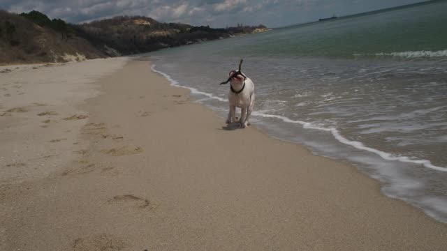 cute white boxer dog running out of the water towards the camera with a stick in its mouth. fun at the beach. slow motion - patyk część rośliny filmów i materiałów b-roll