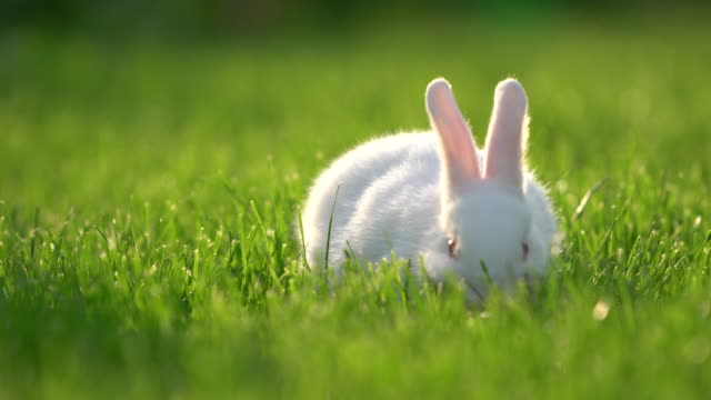 Cute white Cottontail bunny rabbit munching grass in the garden video