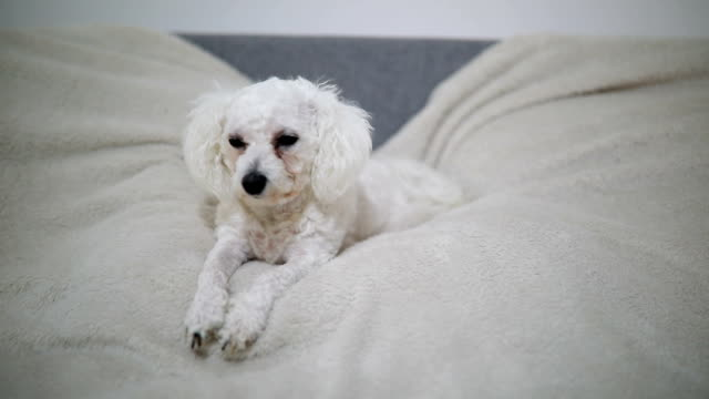 cute white dog lying on the bed - bichon frisé video stock e b–roll