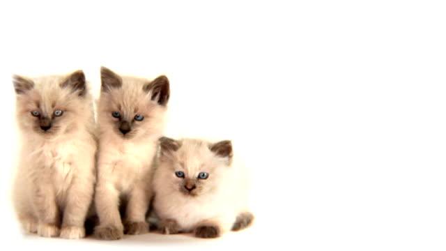 hd cute white kittens watching a ball - 20 sekunder eller längre bildbanksvideor och videomaterial från bakom kulisserna