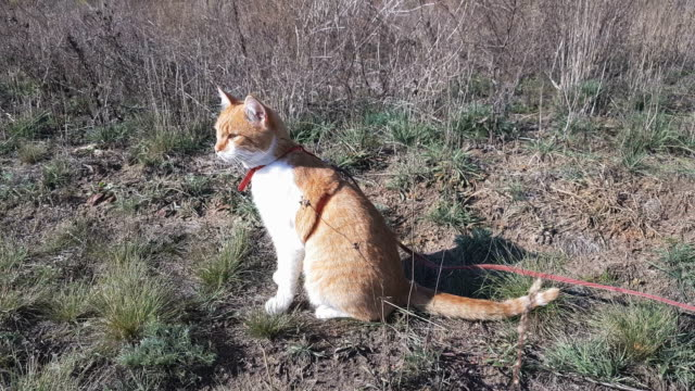 Cute white-and-red cat in a red collar in the grass video