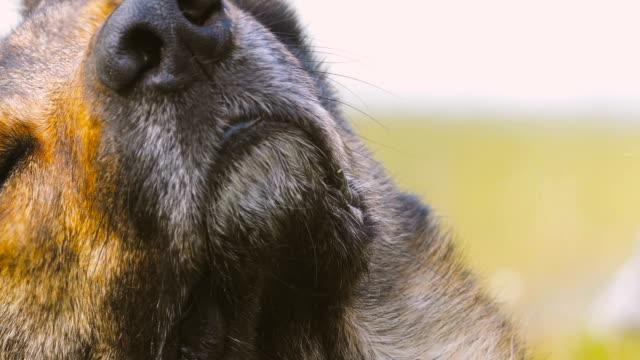 söt varg hund rör sig huvudet mot kameran i ett bergslandskap - päls textil bildbanksvideor och videomaterial från bakom kulisserna