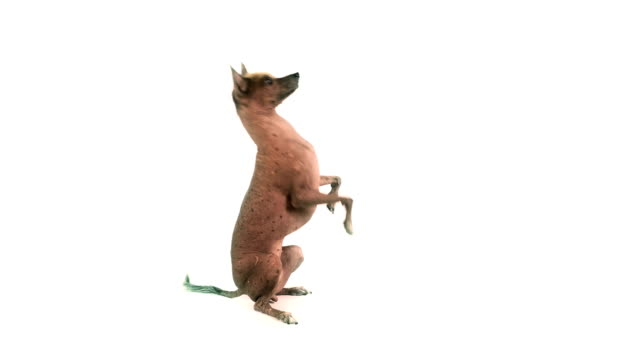 Cute Xoloitzcuintli dog standing up on its hind legs