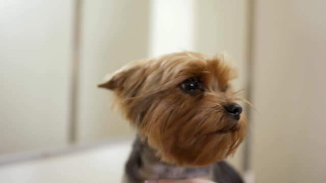 cute yorkshire terrier enjoys a hot air during drying his fur - terrier video stock e b–roll