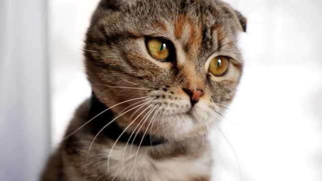 Cute young cat cute looks at the camera, close-up Cute young cat cute looks at the camera, close-up. Slow motion shot. Portrait of a cat with big eyes tabby cat stock videos & royalty-free footage