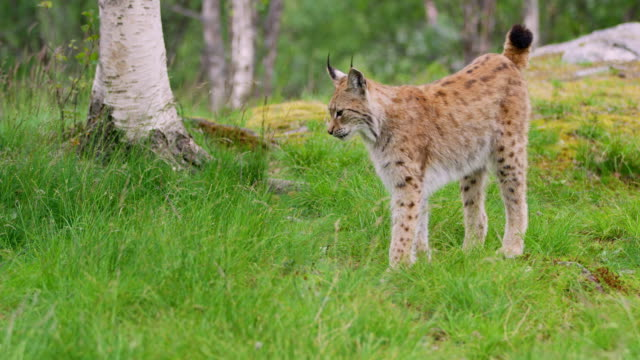 Cute young european lynx walking in the forest a summer evening