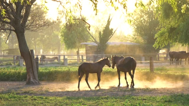 cute young horse following a larger horse around the breathtaking sunlit pasture - cavalla video stock e b–roll