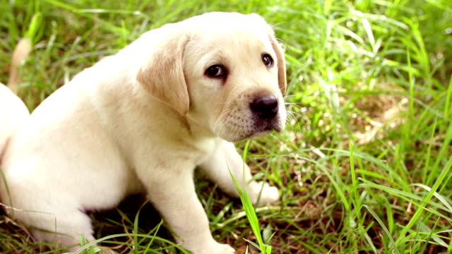 Cute young labrador puppy in grass video