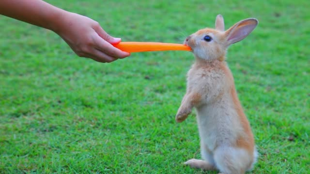 Cute young little bunny is hand feeding carrot while standing on the meadow grass field