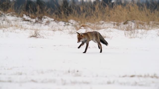 sevimli genç kırmızı tilki (vulpes vulpes) gün doğumunda karla kaplı çayır üzerinde çalışan - etçiller stok videoları ve detay görüntü çekimi