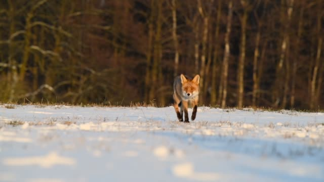 Video Cute young red fox (Vulpes Vulpes) running on meadow covered with snow at sunrise