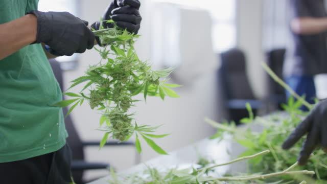 Cutting Cannabis buds off branch video