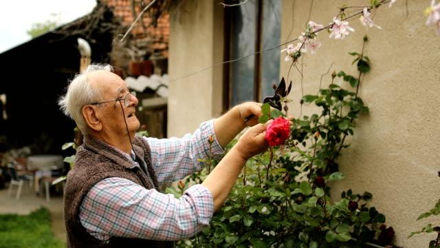 Cutting fresh roses in the garden