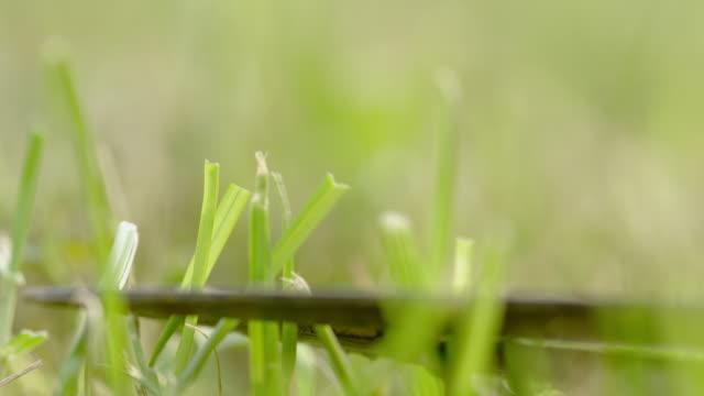 ecu cutting grass with shears - perfezione video stock e b–roll