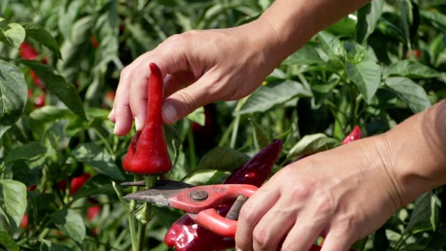 cutting ripe red pepper. nature, agriculture- slow motion - forbici video stock e b–roll