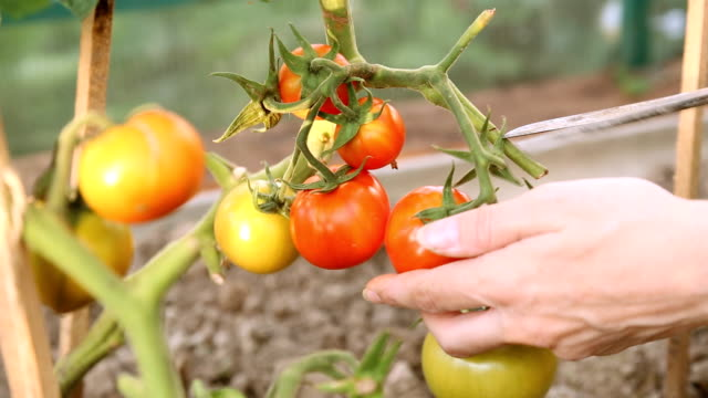 温室でトマトをカット ビデオ