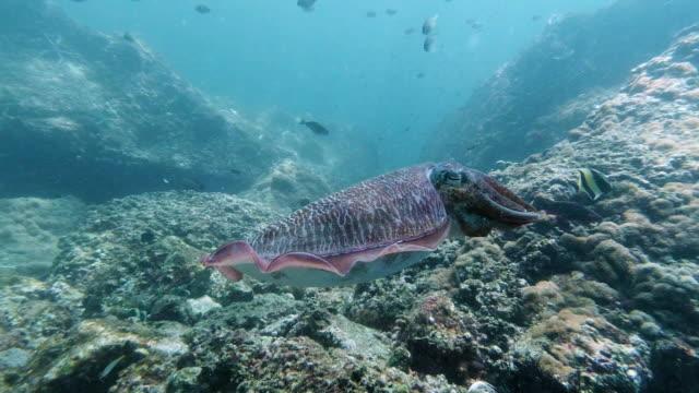 Tintenfisch (Sepia pharaonis) Kopffüßer schwimmen Unter Wasser – Video