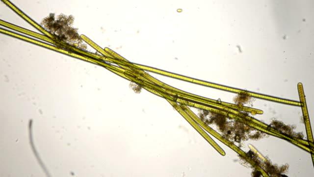 cyanobacteria oscillatoria gatunków - mikrobiologia filmów i materiałów b-roll