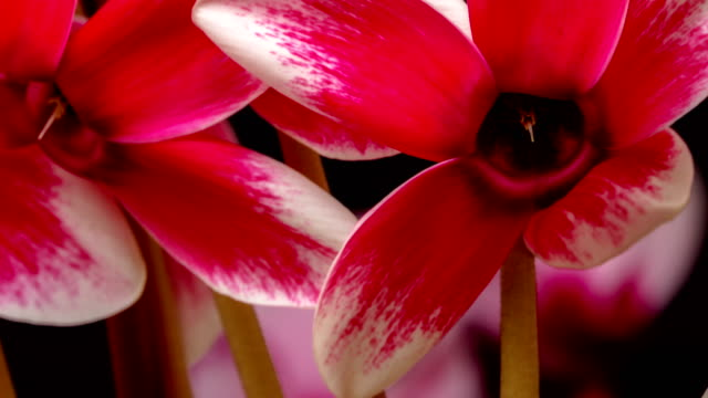 Cyclamen flower blooming and rotating against black background in a 4K time lapse movie. Cyclamen growing in two axis time lapse motion.