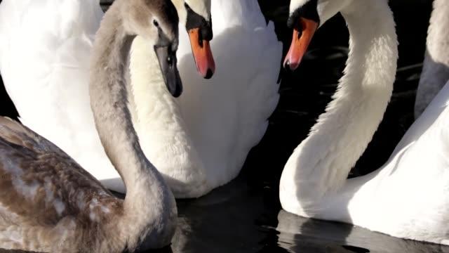 Cygnet wanderer returns mute swans Cygnus olor HD video video