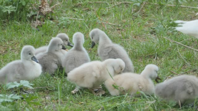 cygnets, or baby swans video