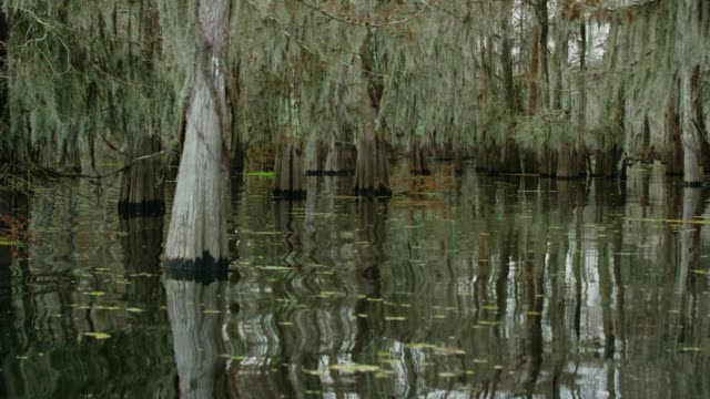 cypress trees covered in spanish moss and salvinia floating in the atchafalaya river basin swamp in southern louisiana under an overcast sky - болото стоковые видео и кадры b-roll