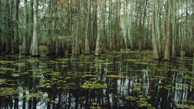 Cypress Trees Covered in Spanish Moss and Salvinia Floating in the Atchafalaya River Basin Swamp in Southern Louisiana Under an Overcast Sky Cypress Trees Covered in Spanish Moss and Salvinia Floating in the Atchafalaya River Basin Swamp in Southern Louisiana Under an Overcast Sky wetland stock videos & royalty-free footage