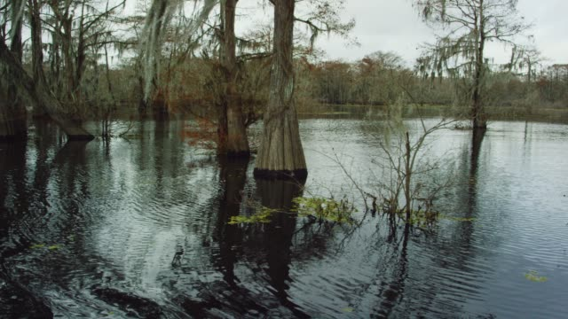 cypress trees covered in spanish moss in the atchafalaya river basin swamp in southern louisiana under an overcast sky - болото стоковые видео и кадры b-roll