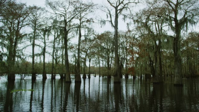 Cypress Trees Covered in Spanish Moss in the Atchafalaya River Basin Swamp in Southern Louisiana Under an Overcast Sky