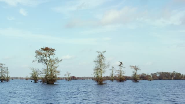 Cypress Trees Covered in Spanish Moss in the Atchafalaya River Basin Swamp in Southern Louisiana under a Blue Sky
