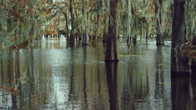 cypress trees in a forest covered in spanish moss in the atchafalaya river basin swamp in southern louisiana - болото стоковые видео и кадры b-roll