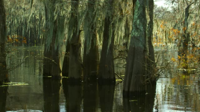 Cypress Trees in a Forest Covered in Spanish Moss in the Atchafalaya River Basin Swamp in Southern Louisiana