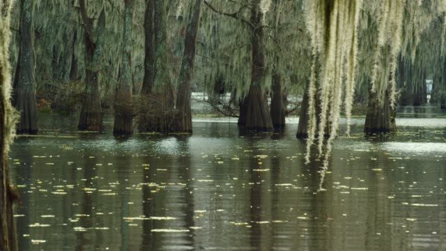 cypress trees in a forest covered in spanish moss with salvinia floating in the atchafalaya river basin swamp in southern louisiana - болото стоковые видео и кадры b-roll