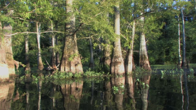 Cypress Trees in HD video