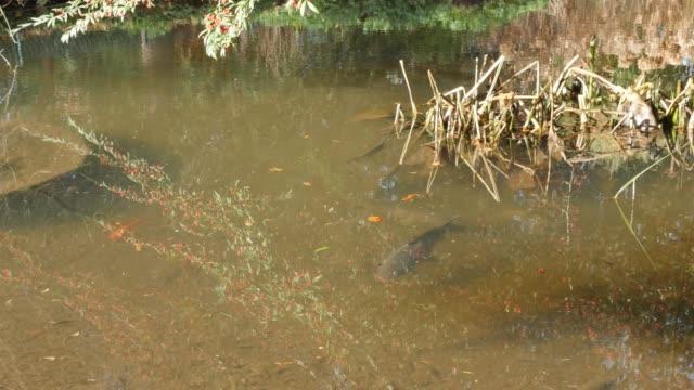 cyprinidae familie fische im flachen teich kultiviert 4k - fang stock-videos und b-roll-filmmaterial