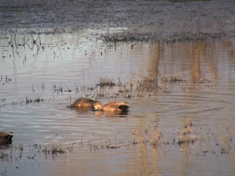 NTSC: Dabbling Ducks Ducks feeding at sunset. water bird stock videos & royalty-free footage