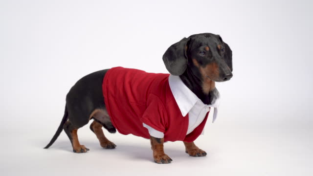 Dachshund dog, black and tan, dressed scientist costume, white shirt and red jacket, isolated on white background Dachshund dog, black and tan, dressed scientist costume, white shirt and red jacket, isolated on white background shirt stock videos & royalty-free footage