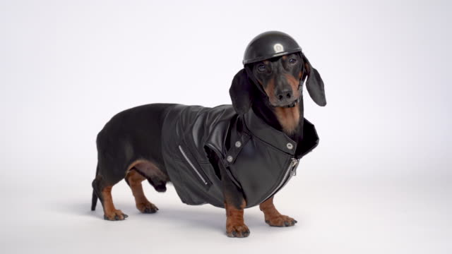 dachshund dog, black and tan, wears a black jacket and motorcycle helmet, isolated on white background - motociclista video stock e b–roll