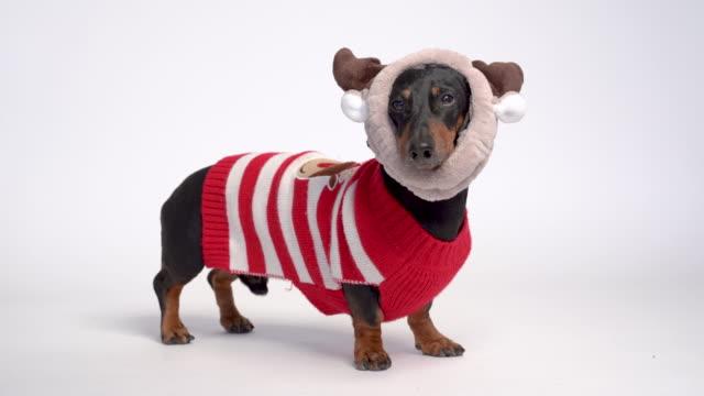 такса собака портрет, черный и загар, одетый в красный рождественский свитер и рога, изолированные на сером фоне - christmas background стоковые видео и кадры b-roll