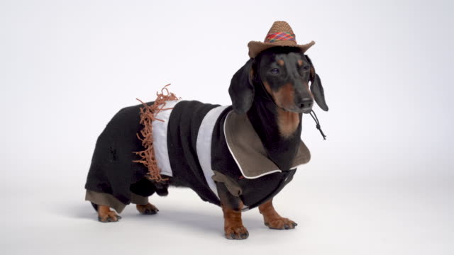 Dachshund dog portrait, black and tan, dressed with Cowboy costume and western hat isolated on white background