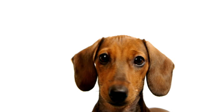 HD - Dachshund. dog's head video