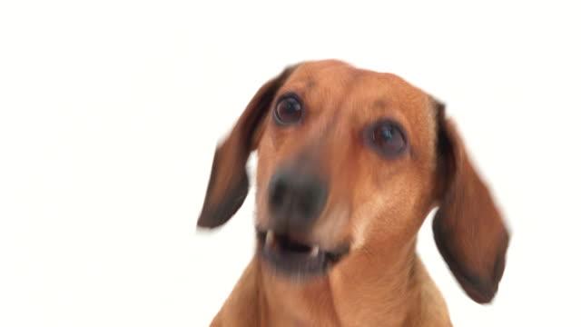 4K - Dachshund head. Dog barks video