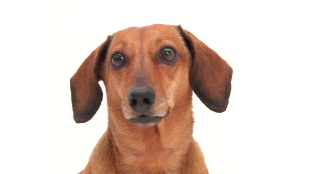 4K - Dachshund head. Dog looks at the camera and lick oneself video