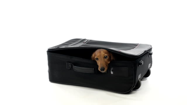 Dachshund hiding in a suitcase video
