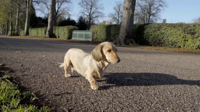Dachshund In A Sunny Park A group of dachshunds (sausage dogs) are having a walk in a lovely park. Shot at 240fps short length stock videos & royalty-free footage