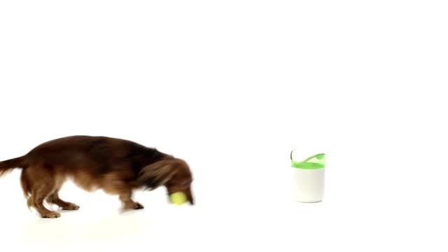 Dachshund putting a ball in dustbin video