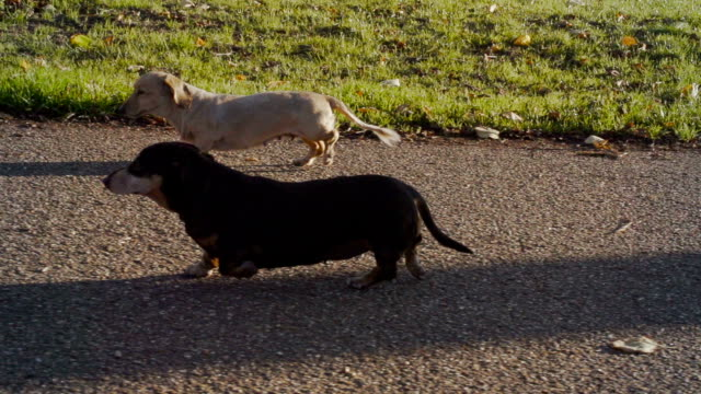 Dachshunds In A Sunny Park A group of dachshunds (sausage dogs) are having a walk in a lovely park. Shot at 240fps short length stock videos & royalty-free footage