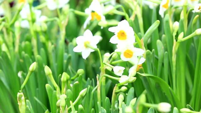 daffadilly flower video