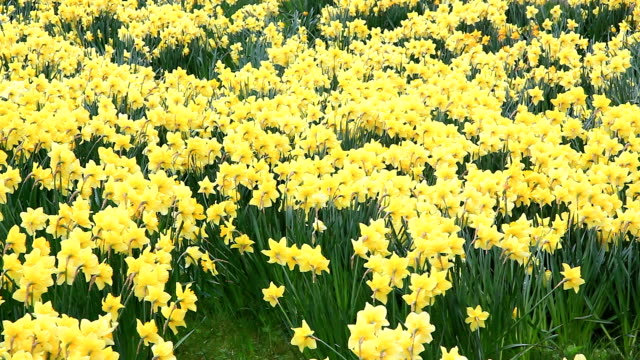 Daffodil Field video