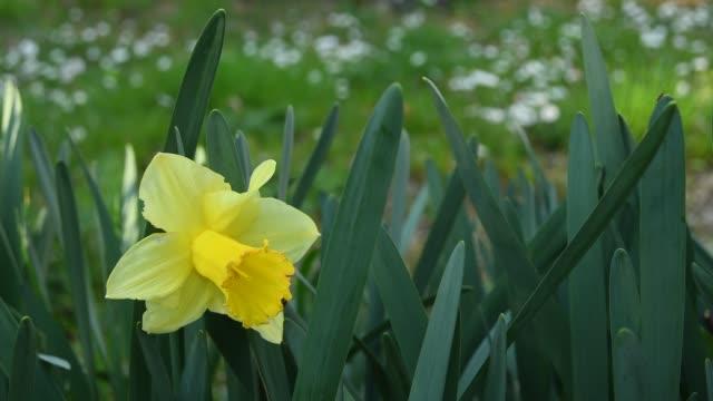 stockvideo's en b-roll-footage met narcisbloem en groen blad in een bloementuin in een lente dag. gele narcisbloem. - fresh start yellow
